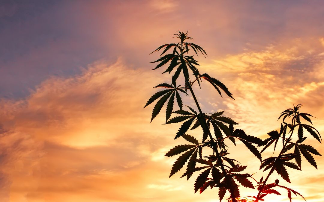 FAQ – What is the Difference Between Hemp and Cannabis Derived CBD?